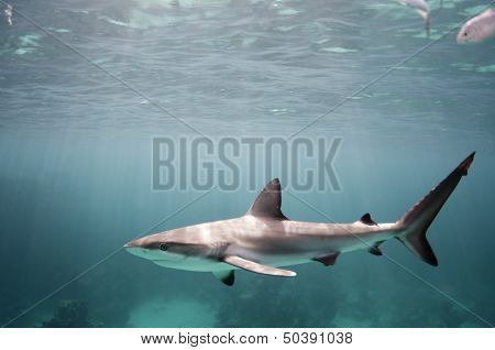 Young Caribbean Reef Shark