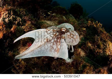 Reef Octopus Walking