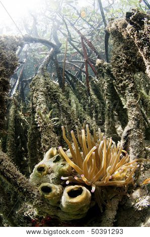 Sea Anemone in Mangrove Forest