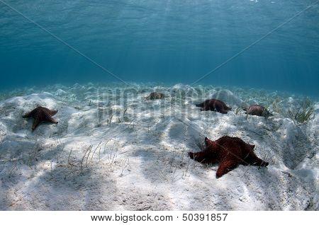 Cushion Sea Stars