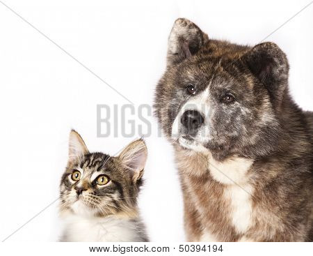 Akita inu  and cat breeds Maine Coon, Cat and dog