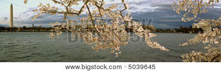 Panorama de la flor de cerezo