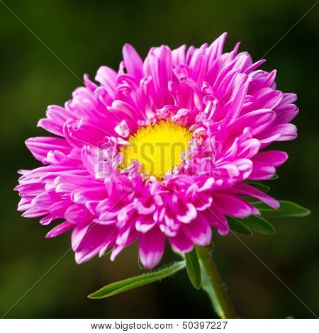 Pink chrysanthemum flower closeup