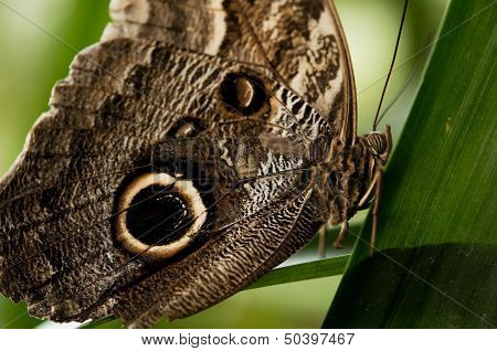 Owl eye butterfly on green plant