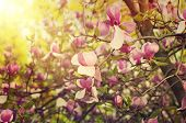 foto of magnolia  - Blossoming of magnolia flowers in spring time - JPG