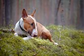 pic of spotted dog  - English bull terrier. Thoroughbred dog. Canine friend. Red dog. Bull terrier in the wood.