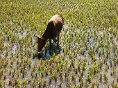 picture of zebu  - Malagasy Zebu grazind amid a cultivated land - JPG