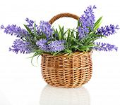 wicker basket with lavender flowers plant bouquet isolated on white background