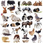 stock photo of poultry  - farm animals in front of white background - JPG