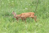 stock photo of deer family  - family of roe deers  - JPG