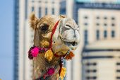 picture of hump day  - The muzzle of the African camel close-up