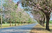 stock photo of lapacho  - Beautiful Road Along With Pink Tatebuia In Bloom - JPG