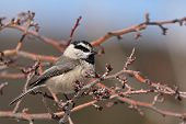 image of chickadee  - A Mountain Chickadee perched in an apple tree in New Mexico - JPG