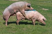 foto of animals sex reproduction  - White pigs mating on grass on farm - JPG