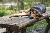 stock photo of stray dog  - Old stray hungry dog sleeping on wooden table in the forest - JPG