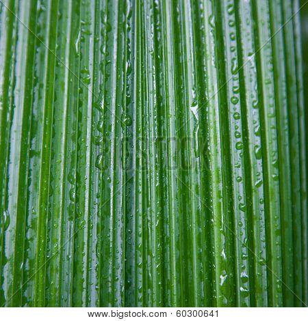 Wet Palm Leaf Background