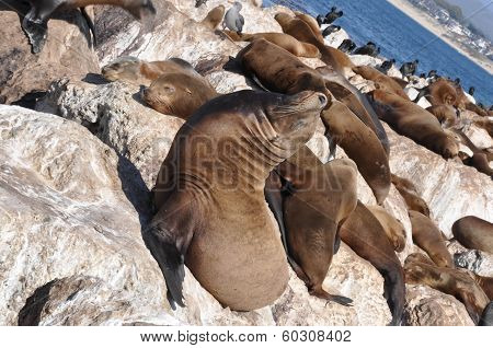 Sea Lions; Monterey; California; Usa