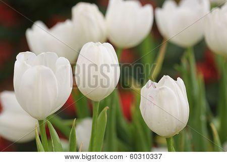 Tilip Flower