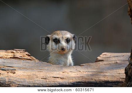 Meerkat Peeping