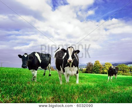 Friesian/Holstein dairy cows.