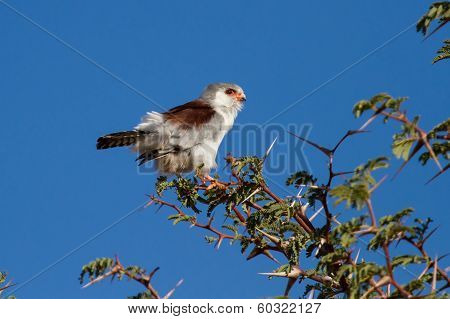 Pigmy Falcon Sit In Thorn Tree With Bright Blue Sky Beautiful Bird