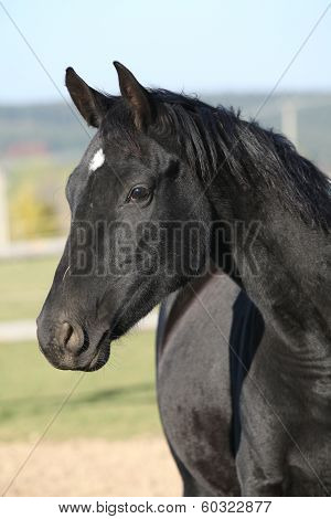 Beautiful Black Mare With Rope Halter In Autumn