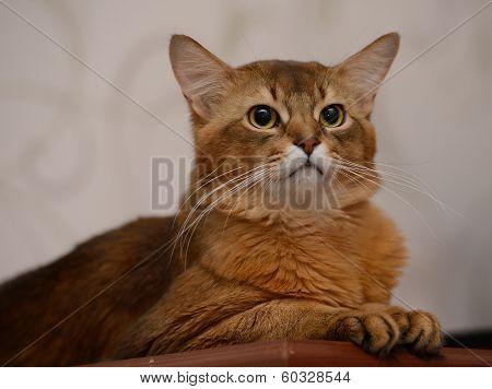 Portrait Of A Cute Somali Cat