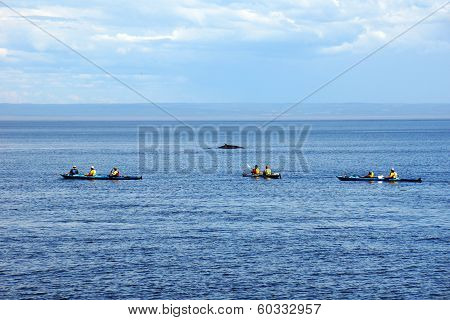 Sea Kayakers And Minke Whale