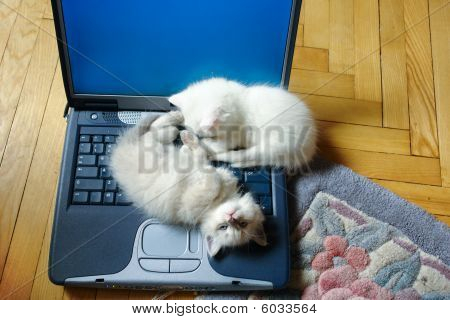 Kittens on laptop