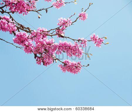 Spring flowers (Cercis siliquastrum) against blue sky.