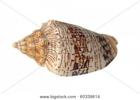 Sea snail shell isolate on white background