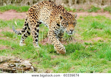 Jaguar Stalking Prey