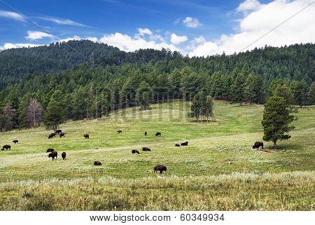 Herd of American Bison on grassland, Custer State Park, South Dakota, USA