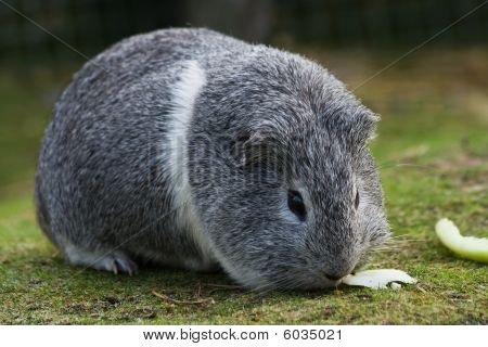 Grey And White Guinea Pig Or Cavy