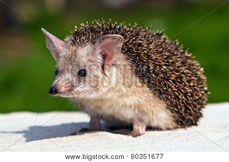 Eared Hedgehog