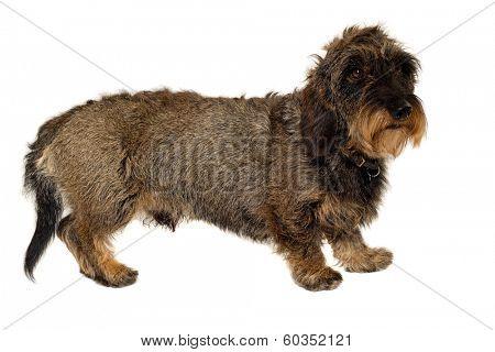 Dachshund dog is standing on white background