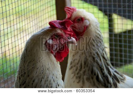 Two White Maran Roosters In Coop