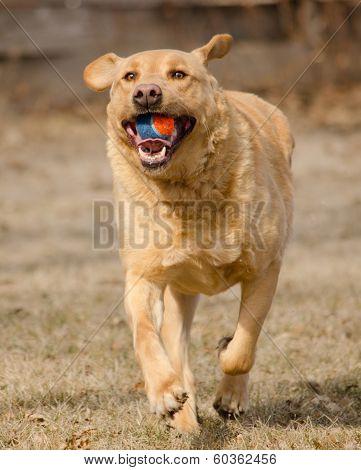 Yellow Labrador Playing Fetch