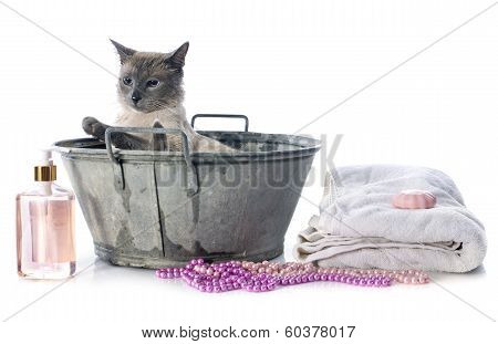 Siamese Cat In Pond