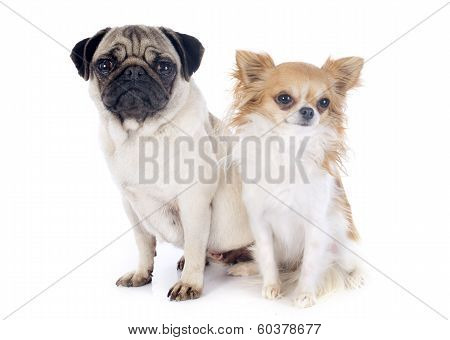 Young Pug And Chihuahua