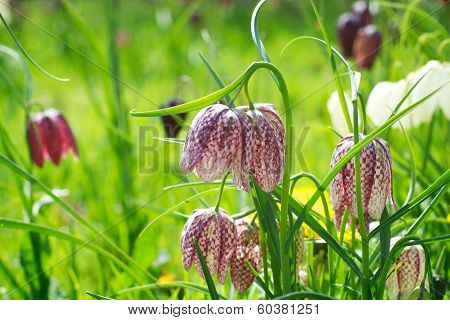 Snake's Head Fritillary British Wild Meadow Flower