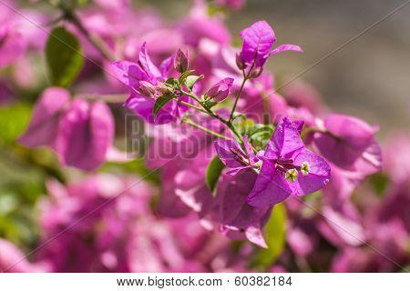 Pink Bougainvillea Bunch