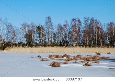 Group Of Birches