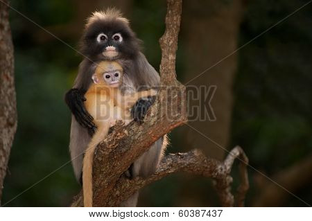 Monkey Mother And Son ( Presbytis Obscura Reid ).
