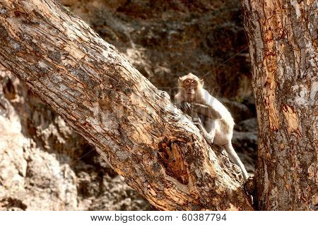 Monkey Sitting On Tree ( Macaca Fascicularis ).