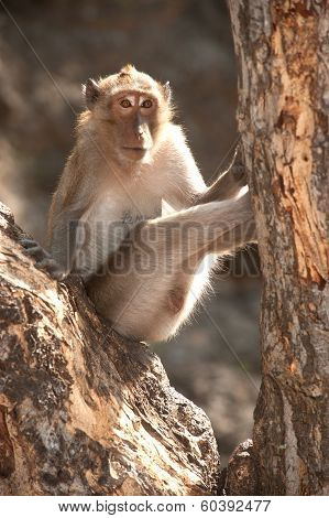 Portrait Of Monkey Sitting On Tree ( Macaca Fascicularis ).