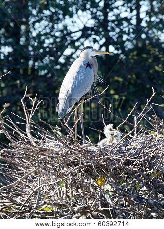 Great Blue Heron Guarding Babies