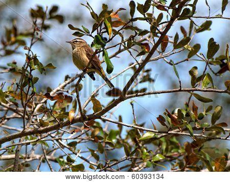 Perching Palm Warbler