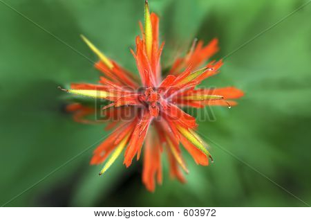 Indian Paintbrush Abstract Star