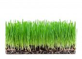 stock photo of eat grass  - sprouts of green wheat grass on white background - JPG